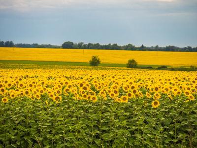 Подсолнухи. поле подсолнухи цветы растение подсолнечник желтый лето