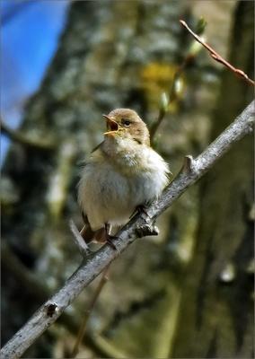 пеночка-теньковка птичка птица Польша пеночка-теньковка пение лес весна Бытом