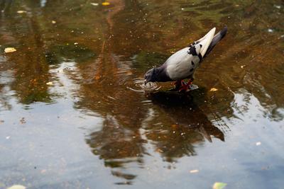 Пить хочу! вода голубь пить жажда