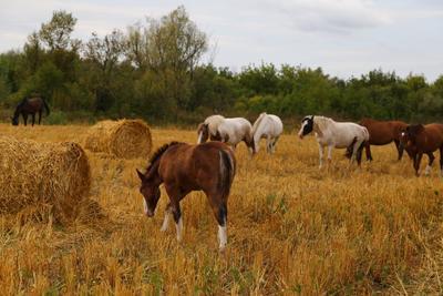 На лугу пасутся ко... лошадь поле сено Россия осень воздух