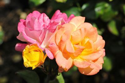 Такая разнообразная .. роза
