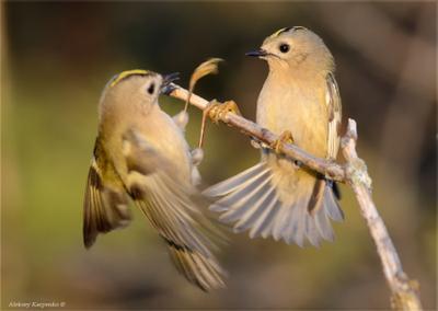 Поединок птица королек желтоголовый фотоохота wildlife