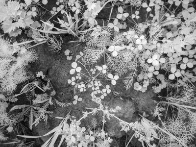 Ладога. Это лето. IR Ладога лето IR цветы трава природа черно-белое инфракрасная фотография