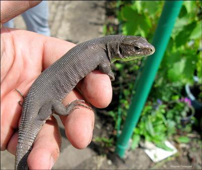 Маленький дракон ящерица макро болонка