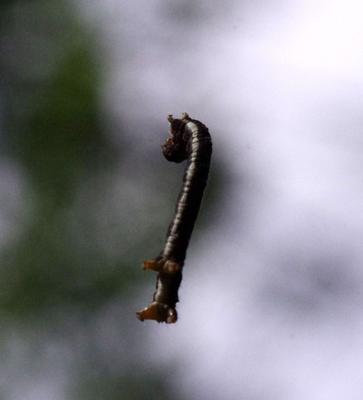 Гусеница на нитке