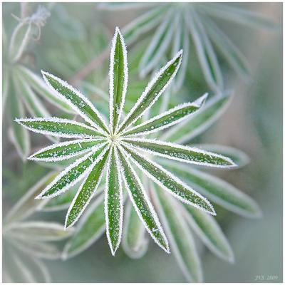 Снежинка заморозки, листья