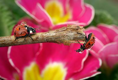Доставка цветов макро божья коровка капли насекомые