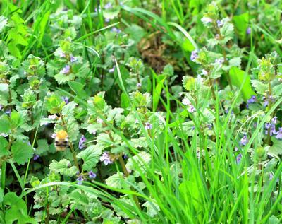 В стране дремучих трав шмель, травы, макро