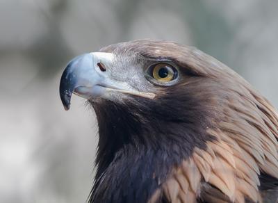 Зоркий глаз Птицы Орел