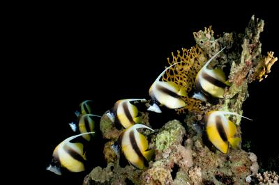 Butterfly fishes underwater photo