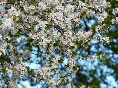 Цветет вишня... цветение деревья..