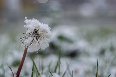 Первый снег Одуванчик снег осень зима мороз холод природа растения