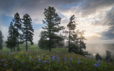 Лиственничный хоровод алтай горы лето цветущий луг роса травы колокольчики лиственницы туман утро деревья улаганский район улаган река кубадру горные склоны