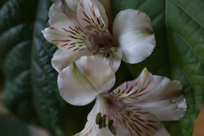 Заморские цветы для женщин России альстромерия авокадо март весна