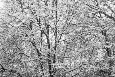 ч/б фактура снег дерево