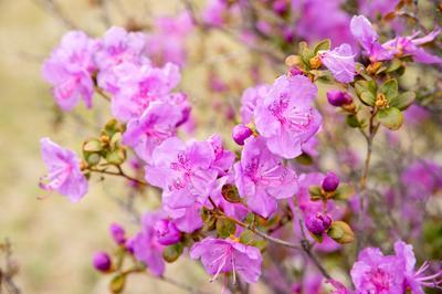Цветение Багульника Алтай май 2019 горы