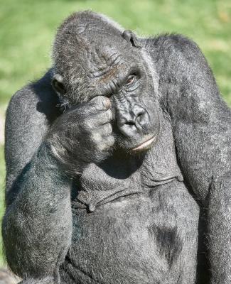 Усталая горилла горилла