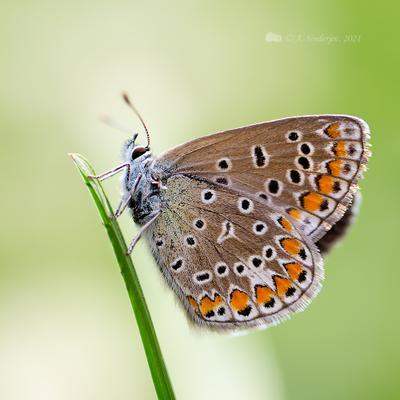 Бабочка голубянка макро насекомое бабочка макро