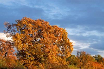 А дерево пылало Дерево, осень, дуб (наверное), небо, тучи