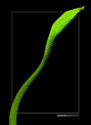 Green King змея