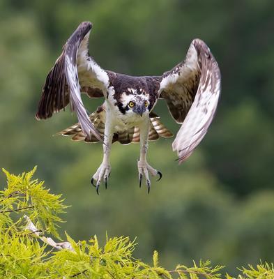 Cкопа - Osprey