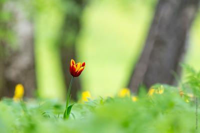 *** тюльпан