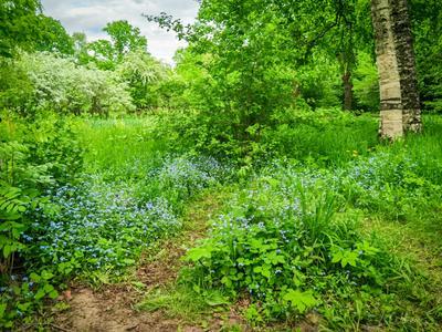 Незабудковая поляна ботанический сад тропинка май весна береза рябина