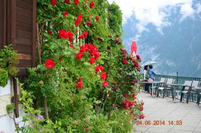 Цвета альпийских роз