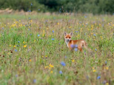 На лугу.. лисёнок фотоохота фауна рязанской области