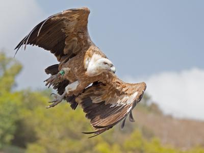 По баллистической сип гриф gyps fulvus полёт птица