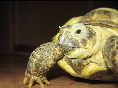 потомок динозавра черепаха