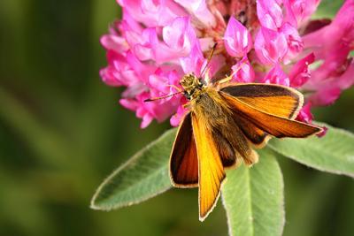 Толстоголовка малая бурая  бабочка толстоголовка малая бурая
