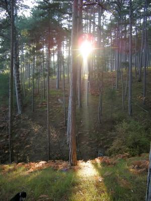 Последний луч сосна Паласса Крым лес лучи сосновый бор природа Крыма папоротники