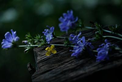 Небесно-голубой цветок августа... Цветы цикорий лето