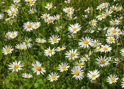 Ромашки Ромашки цветы