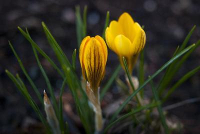 Февральские Крокусы... цветы крокусы краски зелень растения красивые