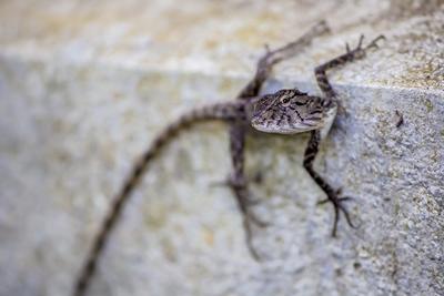 Велосипед геккон ящерка