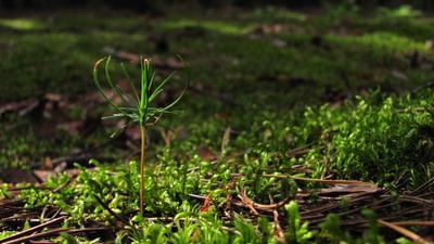 В лесу родилась сосенка... лес сосенка мох
