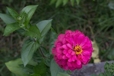 Цинния Цинния фотография Сергей Михайлов природа цветы
