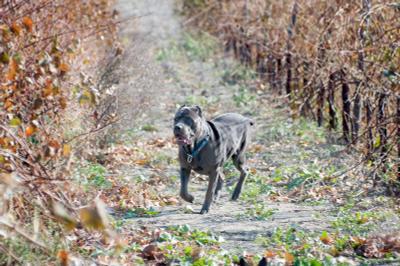 на прогулке итальянский телохранитель кане-корсо на прогулке в виноградовой роще