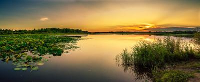 Дальневосточные лотосы. цветы лотос лотосы пейзаж закат