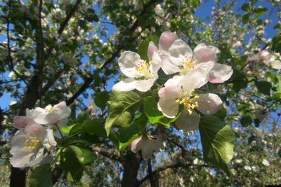 Апрельские яблони. Кубань. сад яблони_в_цвету весна апрель Кубань