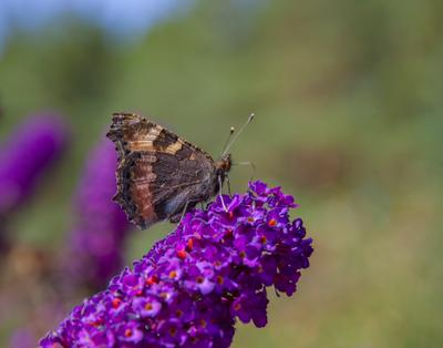 кусочек лета Бабочка-крапивница лето Raynox 250