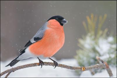 Снежный март... снегирь самец снег бор