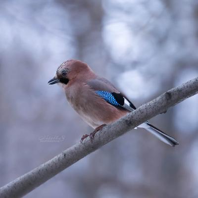 Сойка сойка клюв птица птицы пернатые весна