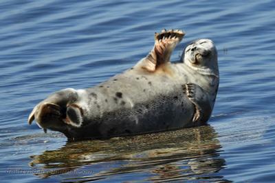 Привет! тюлень