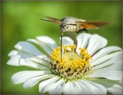 На игле.. лето цветы бражник сбор нектара