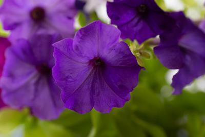 Фиолетовая петуния*** Фиолетовая петуния фотография Сергей Михайлов природа цветы