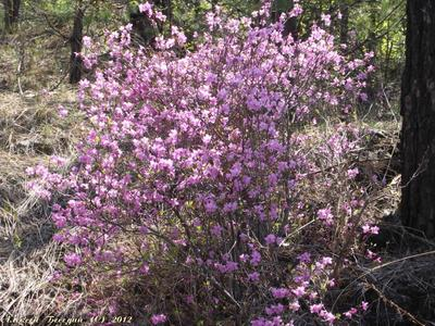 Цветущий Багул Весна, лес, багульник