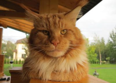Серьезный сосед. Рыжий кот мейкун портрет